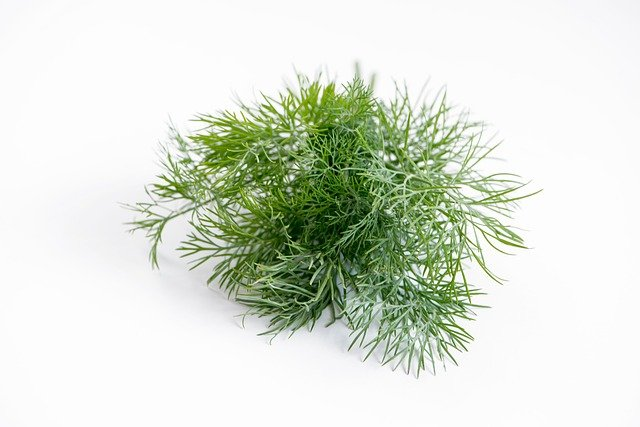 dill plant that has been harvested