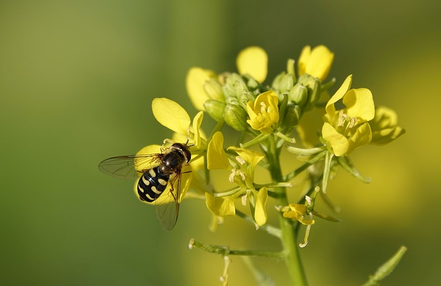 an insect on a mustard plant